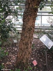 עץ שעם בהורטוס בוטניקוס