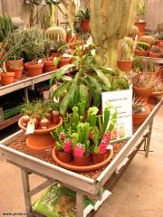 תצוגת צמחים טורפים למכירה בשוק הפרחים