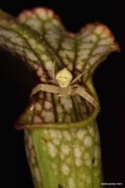 אורח שבנה בית בכניסה למלכודת שופרית לבנה S. leucophylla