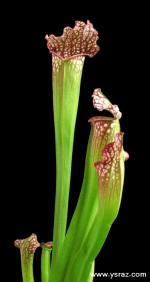 הכלאה של שופרית לבנה Sarracenia Hybrid