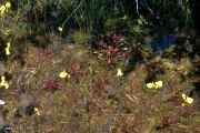 Drosera intermedia and Utricularia cornuta
