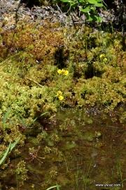 Drosera intermedia and Utricularia cornuta