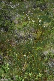 נאדיד קורנוטה (מקורנן) Utricularia cornuta