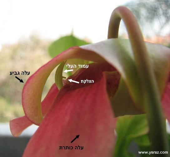 מבנה חיצוני של פרח שופרית
