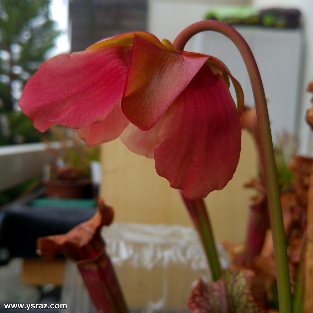 פרח השופרית לקראת סיום הפריחה
