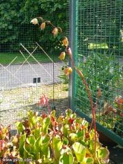 פריחת הליאמפורה בחממה בגנים הבוטאניים בבון