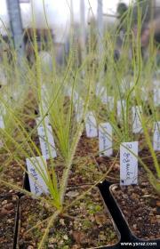 צמח הקשת, ביבליס   Byblis giganta