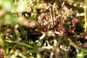טללית Drosera rotundifolia