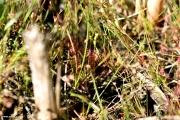 טללית Drosera intermedia