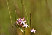 Genuine centaury - Centaurium erythraea