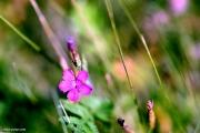 Heather carnation - Dianthus deltoides