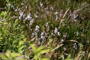 Narrow-leaved cottongrass - Eriophorum_angustifolium