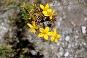 St. John's Wort flowers - Hypericum perforatum