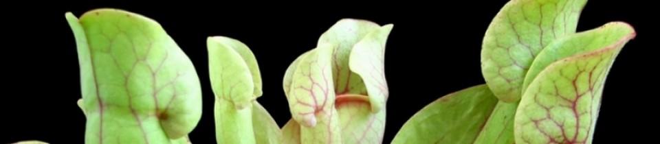 הצמחים הטורפים של ירון