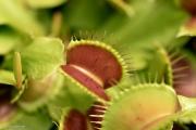 דיונאה Dionaea muscipula