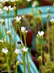 האבקת פרח דיונאה על ידי דבורה