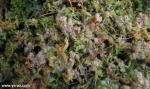 טללית Drosera brevifolia