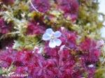 פריחת טללית Drosera brevifolia