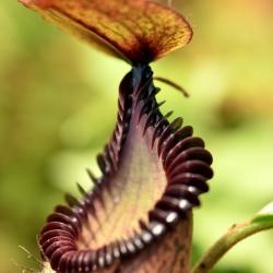 כדנית Nepenthes hamata x edwarsiana