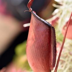 כדנית סוד שחור Nepenthes Dark Secret