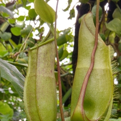 Nepenthes Luoisa
