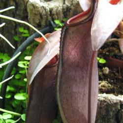 כדנית Nepenthes sanguinea