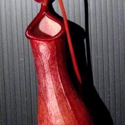 כדנית 'Nepenthes 'Ventrata