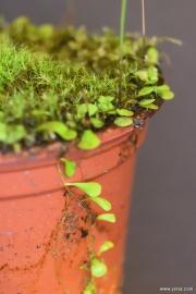 עלי נאדיד Utricularia livida