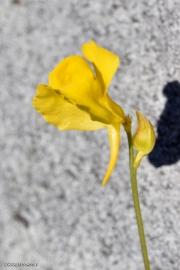 פריחת נאדיד קורנוטה (מקורנן) Utricularia cornuta