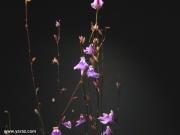 פריחת נאדיד Utricularia calycifida